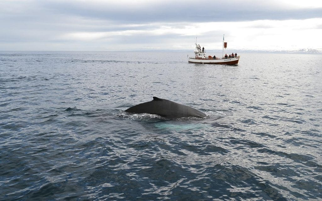 Traditional whale watching from Húsavík