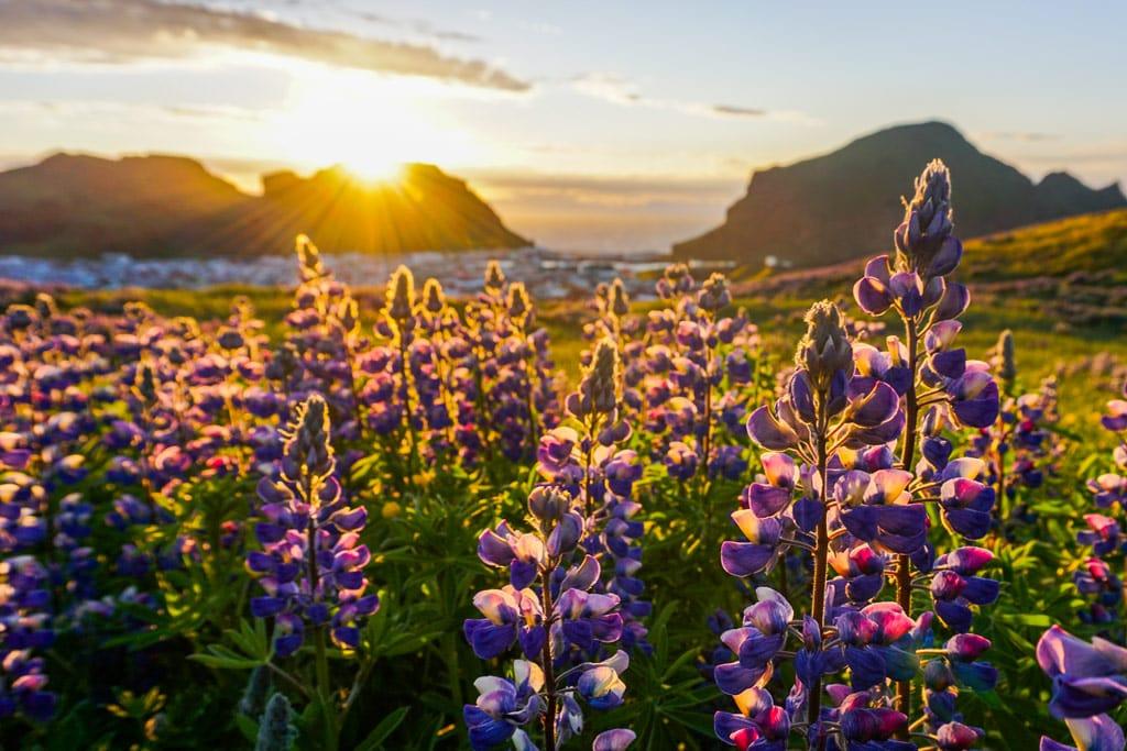 Lupine field in summer in Iceland