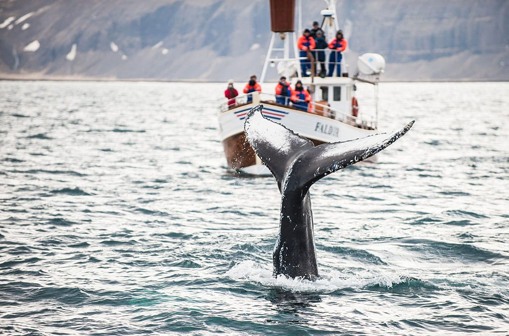Whale watching boat tour in Iceland