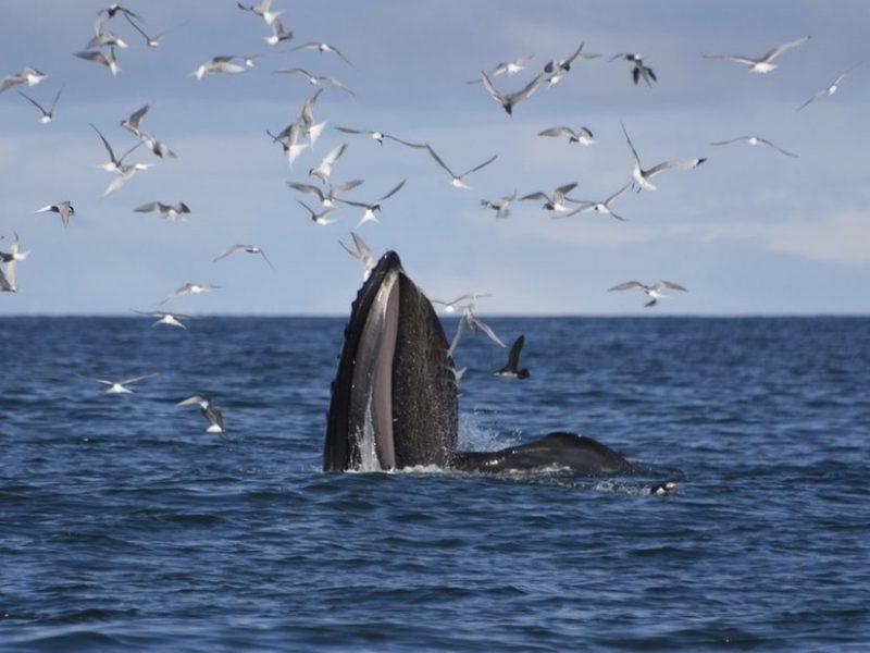 akureyri-classic-whale-watching-01