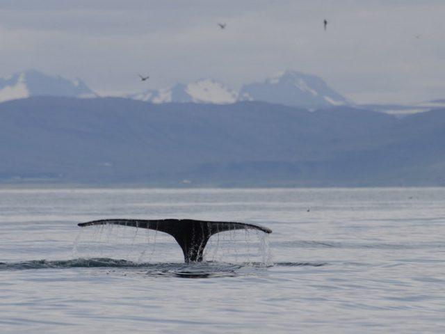 akureyri-classic-whale-watching-04