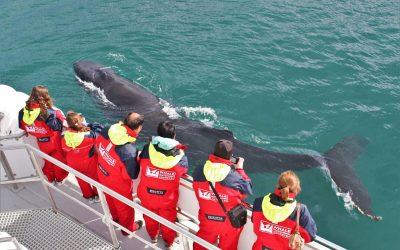 Whale watching in Akureyri - Classic tour