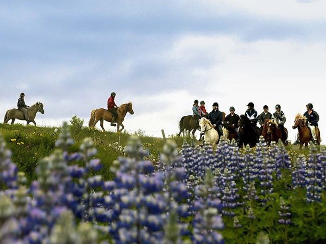 Lupins and horse riders