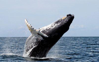 rib-boat-husavik-whale-watching-tour-cover