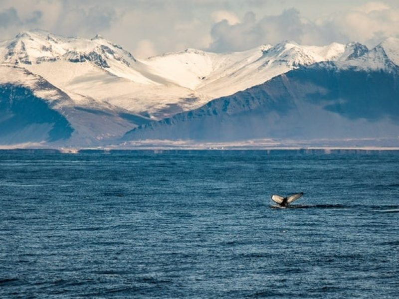 whale-watching-reykjavik-06