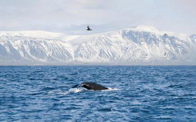 Whale watching in winter fron Reykjavík